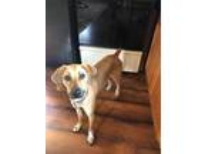 Adopt Bella a Mountain Cur, Mixed Breed