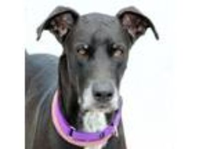 Adopt Amedeo a Great Dane, Mixed Breed