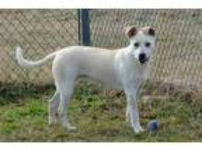 Adopt Odelia a White Shepherd (Unknown Type) / Mixed dog in Wisconsin Rapids