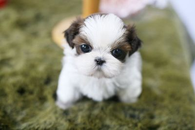 Shih Tzu PUPPY FOR SALE ADN-77916 - Toy Shih Tzu Purebred