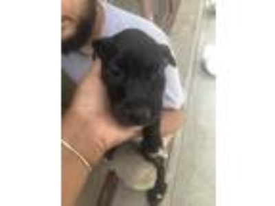 Adopt Landon a Black Terrier (Unknown Type, Small) / Mixed dog in St.