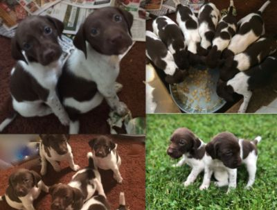 German Shorthaired Pointer PUPPY FOR SALE ADN-78468 - GSP AKC registered Puppies