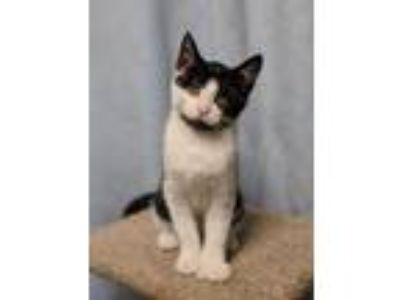 Adopt Poly (Polydactyl female) aka Bearded Lady a Tuxedo, Domestic Medium Hair