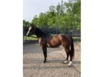 2 yr old Appendix AQHA Filly