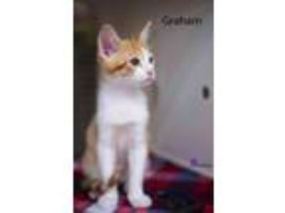 Adopt Graham 19-0111 a Orange or Red (Mostly) Domestic Shorthair / Mixed (short