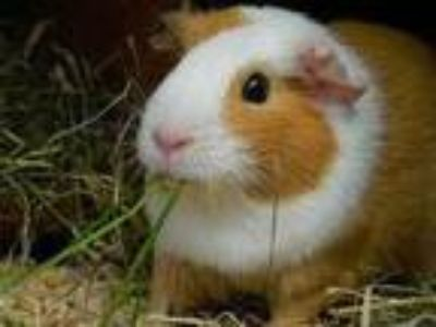 Adopt Maddie a Brown or Chocolate Guinea Pig / Mixed small animal in