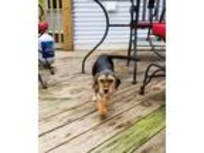 Adopt Star a Brown/Chocolate - with Black Terrier (Unknown Type