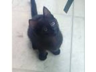 Adopt ANNIE a Extra-Toes Cat / Hemingway Polydactyl, Domestic Short Hair