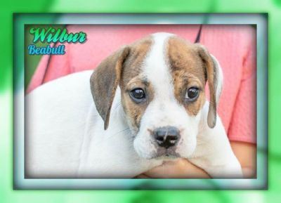 Wilbur Male Beabull Puppy