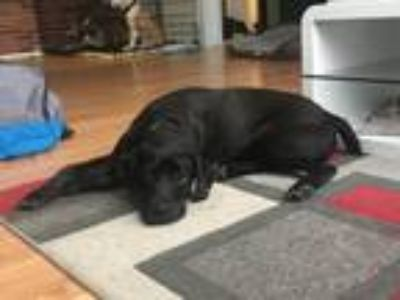 Adopt Meeny-Available for a Meet and Greet! a Labrador Retriever