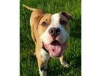 Adopt Chase a Pit Bull Terrier