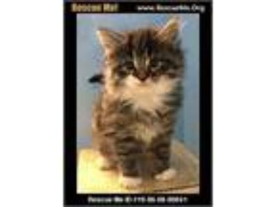 Adopt Tootsie a Gray, Blue or Silver Tabby Maine Coon (long coat) cat in