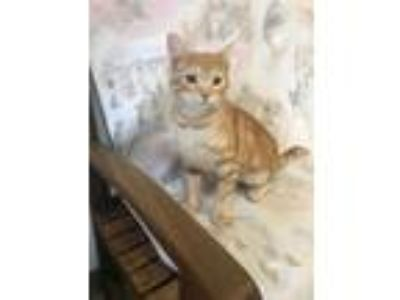 Adopt Tyga a Domestic Short Hair