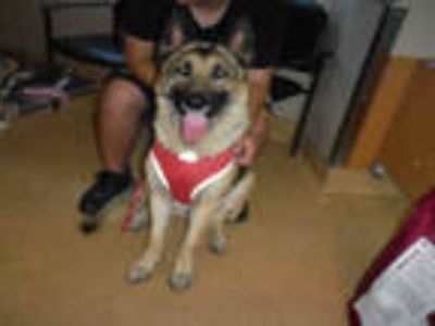 Adopt *BOLT a Black - with Tan, Yellow or Fawn German Shepherd Dog / Mixed dog