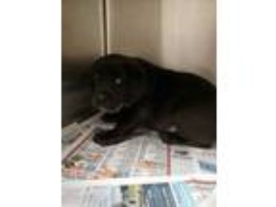 Adopt Baby Bop a Black Labrador Retriever / Mixed dog in Louisburg