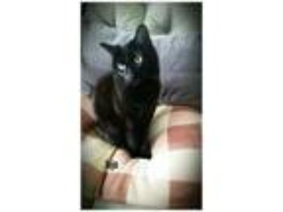 Adopt Juju a Domestic Short Hair