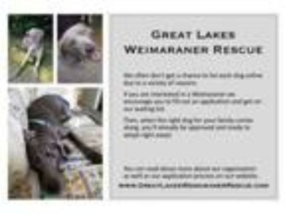 Adopt Waiting List! a Weimaraner