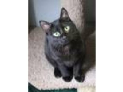 Adopt Silva a All Black Domestic Shorthair (short coat) cat in Yukon