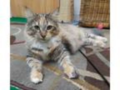 Adopt Brandy: Maine Coon Mix a Dilute Calico, Maine Coon