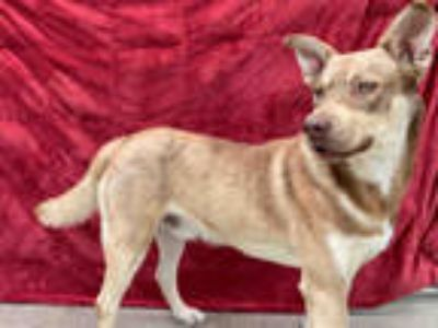 Adopt a Red/Golden/Orange/Chestnut - with White Husky / Mixed dog in Chula