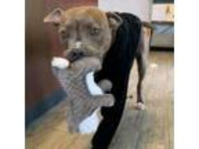 Adopt Stan Lee a Pit Bull Terrier