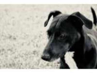 Adopt Olive a Black - with White Labrador Retriever / Jack Russell Terrier /