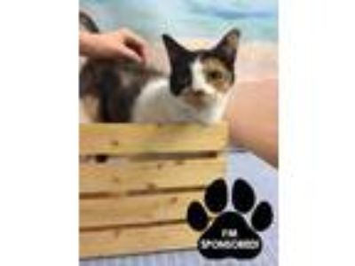 Adopt PATCHES a White Domestic Longhair / Domestic Shorthair / Mixed cat in