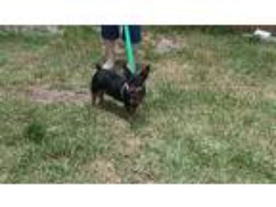 Adopt Frank a Black - with Tan, Yellow or Fawn Dachshund / Miniature Pinscher /