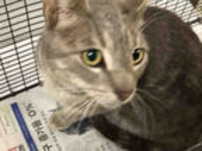 Adopt EGYPT a Gray or Blue Domestic Shorthair / Mixed (short coat) cat in Los
