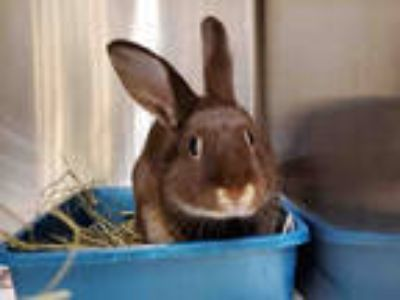 Adopt SWEET BELL a Fawn Other/Unknown / Mixed rabbit in Anchorage, AK (25293296)