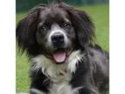 Adopt Kennedy a Black Border Collie dog in New York City, NY (25284527)