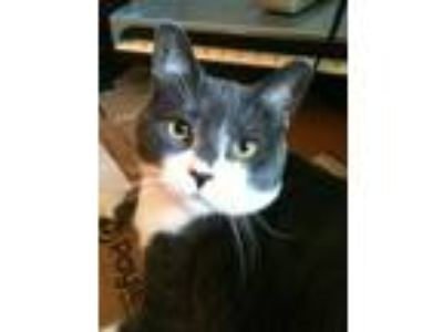 Adopt Schroader - COURTESY POST a Domestic Short Hair