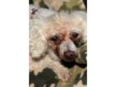Adopt Tansy a Miniature Poodle