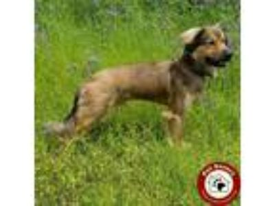 Adopt Baku - Fee $125 a Brown/Chocolate - with Black German Shepherd Dog / Chow
