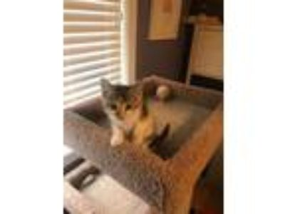 Adopt Calypso a Domestic Medium Hair