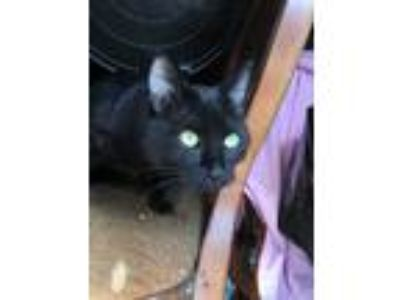Adopt Cat a All Black American Shorthair cat in Chino, CA (24844838)
