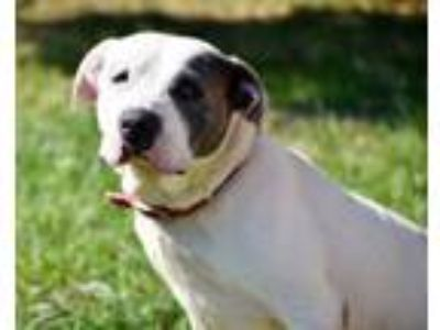 Adopt Rosie (Tink) a Pit Bull Terrier
