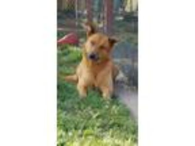 Adopt Rusty a German Shepherd Dog, Golden Retriever