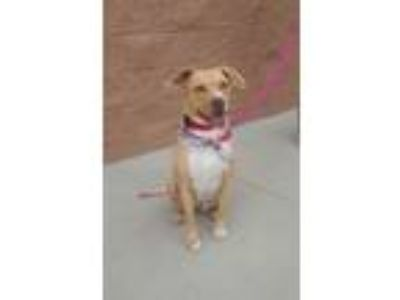 Adopt NINA a Yellow Labrador Retriever, Terrier