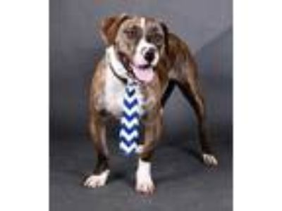 Adopt Lemonz a Brindle Basset Hound / American Pit Bull Terrier / Mixed dog in