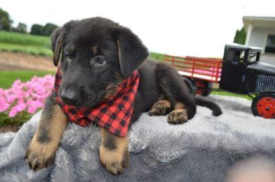 German Shepherd Dog PUPPY FOR SALE ADN-88600 - DANNY
