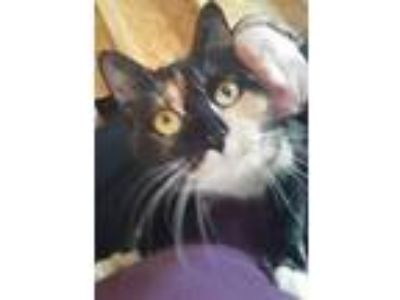 Adopt Casey a Calico or Dilute Calico Domestic Shorthair / Mixed (short coat)