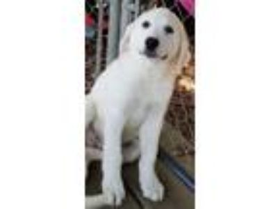 Adopt codi a White Great Pyrenees / Mixed dog in Carson, CA (25645976)