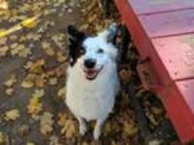 Adopt Harley a Black - with White Border Collie / Mixed dog in Armonk