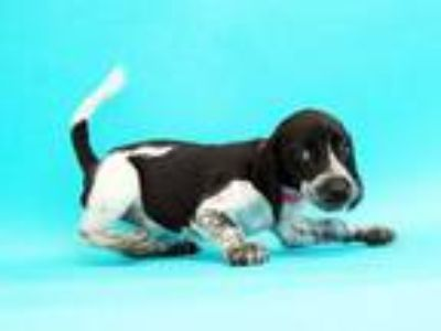 Adopt JOAN a Black - with White Beagle / Australian Cattle Dog / Mixed dog in