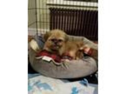 Adopt Riley a Tan/Yellow/Fawn Shih Tzu dog in East Greenville, PA (24013465)