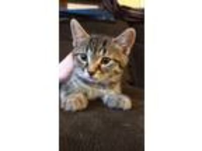 Adopt Kitten-Haku a Gray, Blue or Silver Tabby Domestic Shorthair cat in Herrin