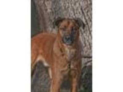 Adopt Hunter - CT a Tan/Yellow/Fawn Shepherd (Unknown Type) / Collie / Mixed dog