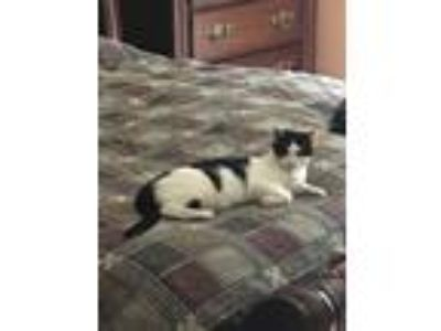 Adopt Gabby a Black & White or Tuxedo Domestic Shorthair (short coat) cat in