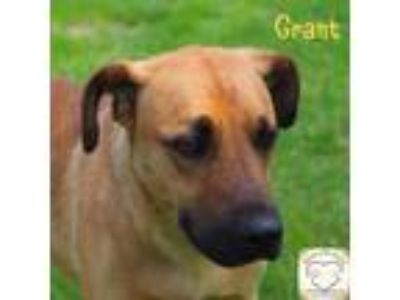 Adopt Grant a Shepherd (Unknown Type) / Boxer / Mixed dog in Washburn